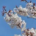山桜満開_1531