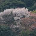 山桜満開_1786