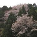 山桜_1903