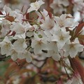 山桜_1911