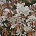 山桜_1912