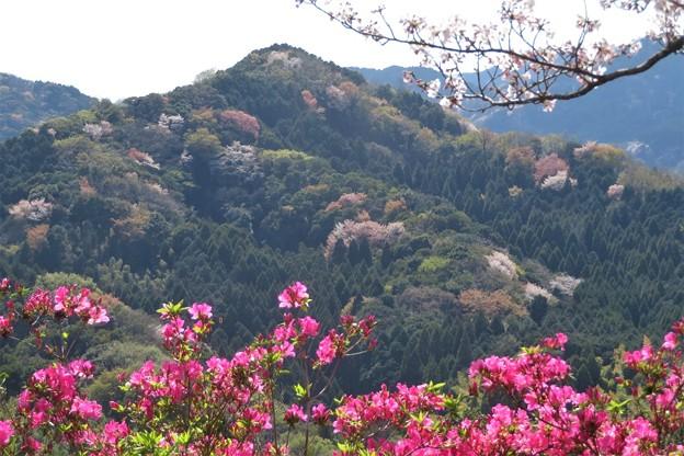 山桜の小山&ツツジ_1965