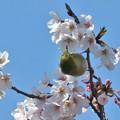 桜メジロ_1975