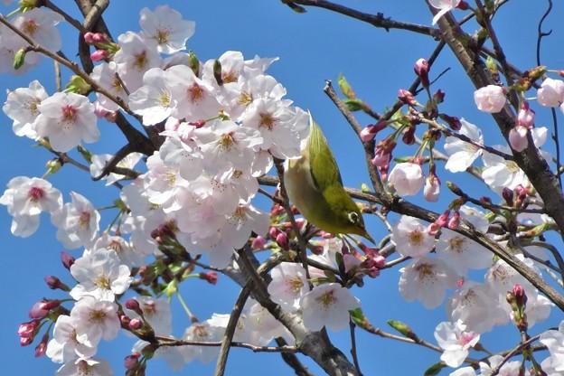 桜メジロ_1976