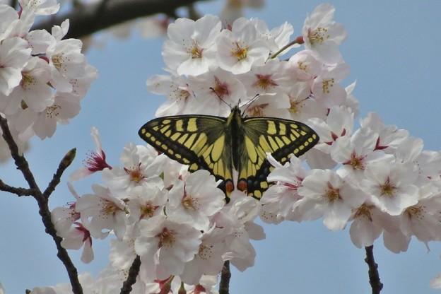 桜キアゲハ_2049