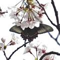 桜クロアゲハ_2053