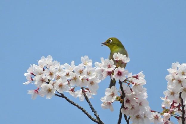 桜メジロ_2030