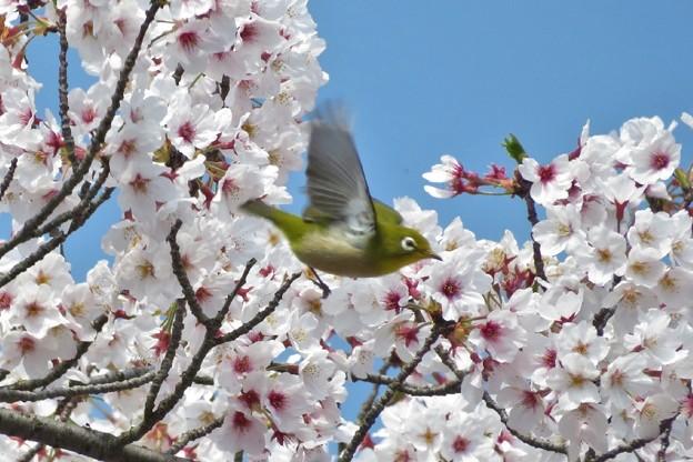 桜メジロ_2037