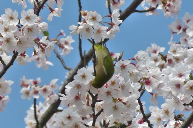 桜メジロ_2039