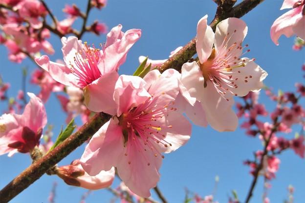 桃の花_2074