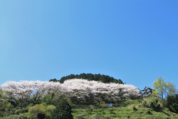 桜満開(小岳)_2078