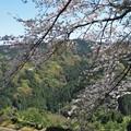 桜満開(小岳)_2084