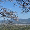 桜満開(小岳)_2087