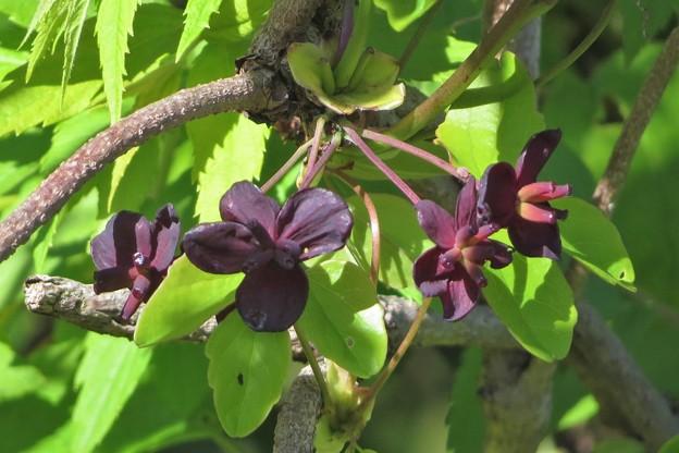三つ葉アケビ花(雌花)_2103