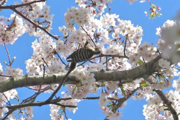 桜コゲラ_2082