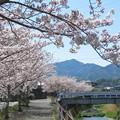 桜並木満開(中学校)_2115