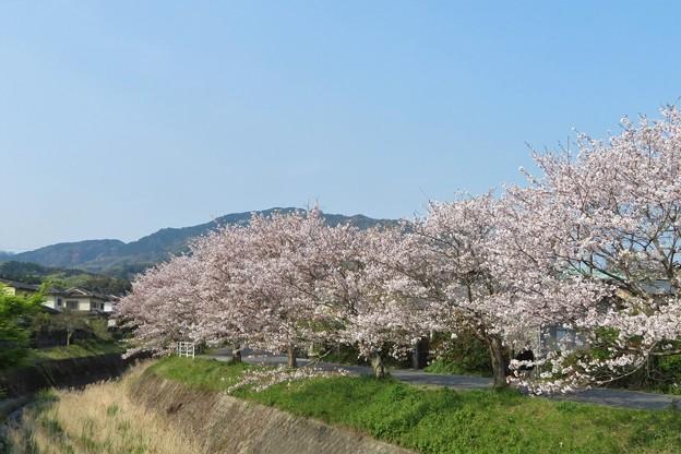 桜並木_2263