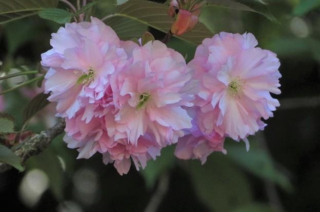 八重桜(一葉)_2334