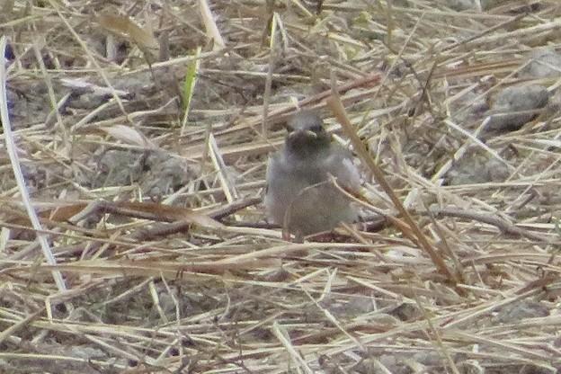 セグロセキレイ幼鳥_4209