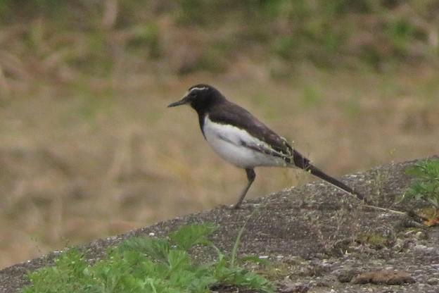 セグロセキレイ親鳥_4212