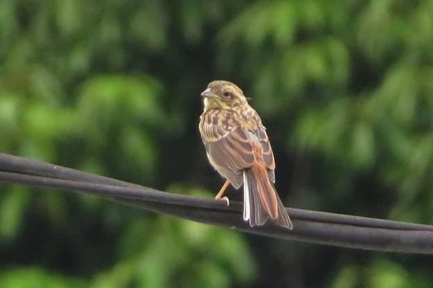 ホオジロ幼鳥_4305