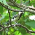 シジュウカラ幼鳥_4396