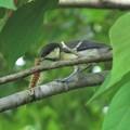 シジュウカラ幼鳥&毛虫_4402