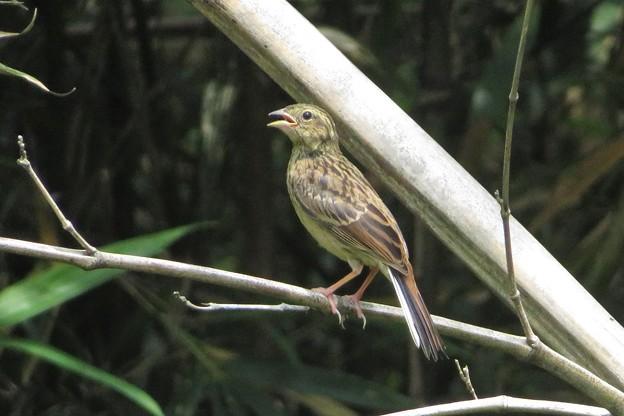 ホオジロ幼鳥_4403