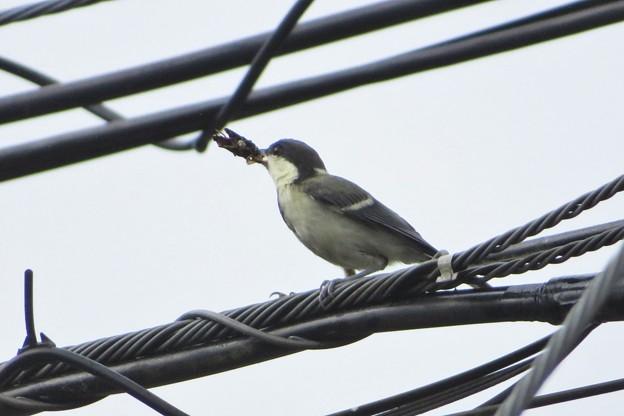 シジュウカラ幼鳥_4569