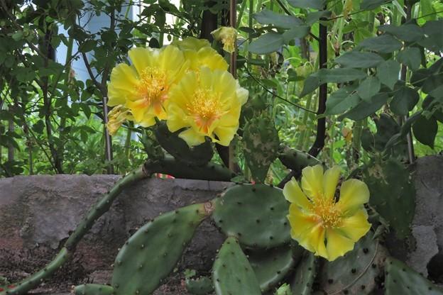 サボテンの花_4565