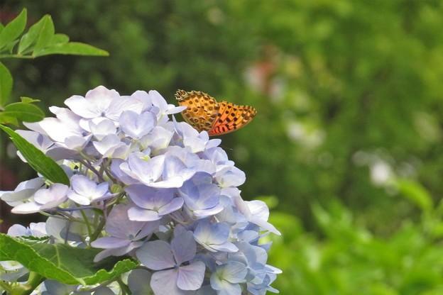 ツマグロヒョウモン♂&紫陽花_4623
