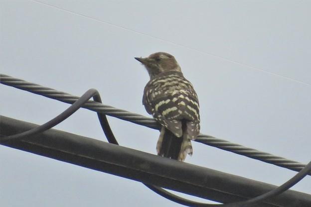 コゲラ幼鳥?_4662
