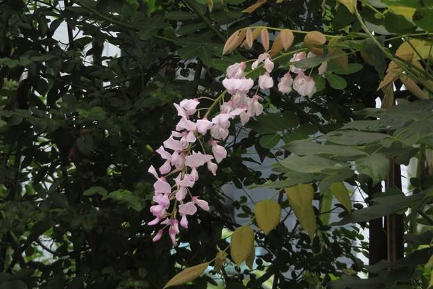 狂い咲きの藤_5527