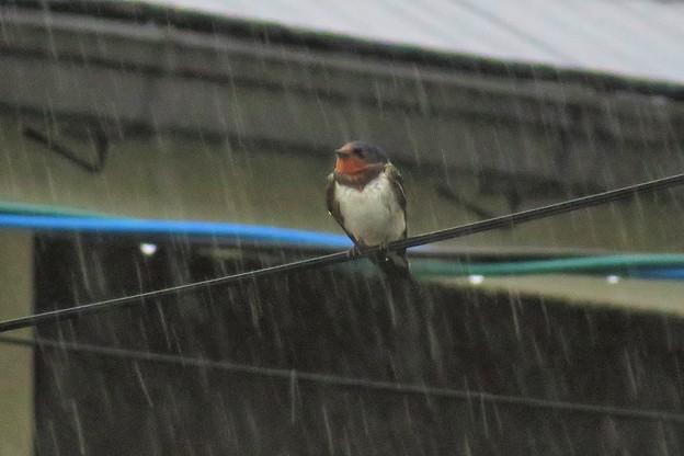 雨ツバメ_5533