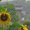 Photos: 梅雨_5537