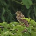 Photos: ホオジロ幼鳥_5638