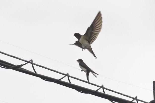 ツバメ幼鳥達_6188