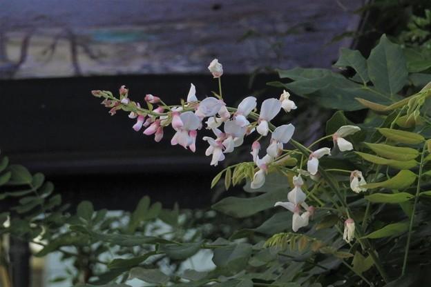 白藤狂い咲き_6318