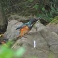 カワセミ幼鳥♂_6540