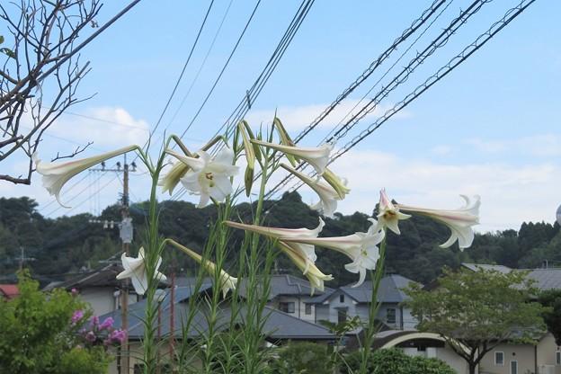 タカサゴユリ_6511