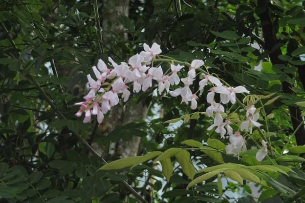 白い藤_6591