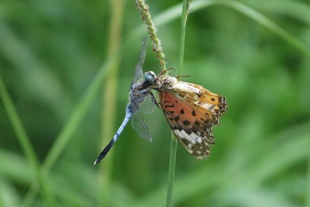 蝶を食うシオカラトンボ♂_6815