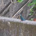 Photos: カワセミ幼鳥♂_6843