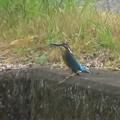 Photos: カワセミ幼鳥♂_6852