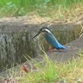 カワセミ幼鳥♂_6857
