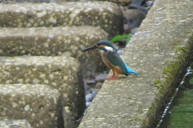 Photos: カワセミ幼鳥♂_6929