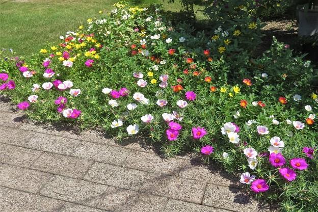 花壇の花(マツバボタンなど)_7028