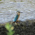 Photos: カワセミ幼鳥♂_7104