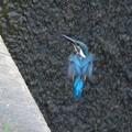 Photos: カワセミ幼鳥♂_7114
