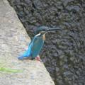 Photos: カワセミ幼鳥♂_7115